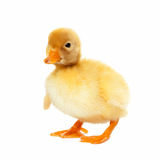 Fluffy yellow baby duckling Stock Photo