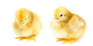 Fluffy yellow chicken Royalty Free Stock Photography