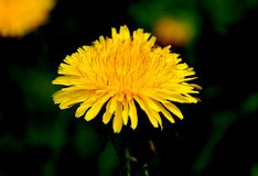 Fluffy yellow dandelion in the grass stock photography