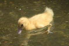 Fluffy yellow duckling Stock Photos