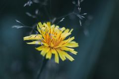 Fluffy yellow flower fall dandelion on blue blurred background. Close-up macro. Autumn hawkbit stock photo