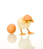 Fluffy yellow spring chicken royalty free stock image