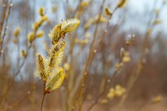 Fluffy yellow willow flowers in the foreground royalty free stock photos
