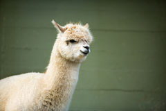 Fluffy young Alpaca Stock Photo