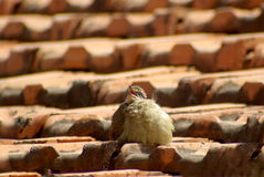 Fluffy young bird twittering on an old brick roof. Cute little bird on a brick roof puffed, up looking into the sky, tweeting and showing his belly Stock Photo