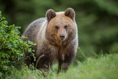 Free Fluffy Young Brown Bear, Ursus Arctos, In Summer. Stock Photos - 143153133