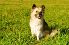 Fluffy young dog Royalty Free Stock Photography