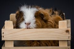 Fluffy young guinea pig in a basket. Fluffy young white and brown guinea pig cavia porcellus in a basket on black seamless background royalty free stock photos
