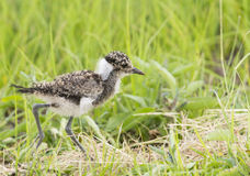 Fluffy young lapwing Stock Images