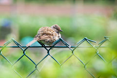 Fluffy Young Sparrow Stock Photography