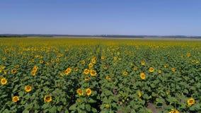 Flug über dem Feld mit Sonnenblumen bei Sonnenuntergang Stockfotos