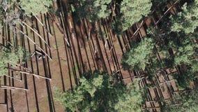 Flug über dem Kiefernwald, Dämmerung im Wald, lange Schatten stock video footage