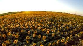Flug über dem Sonnenblumenfeld stock video