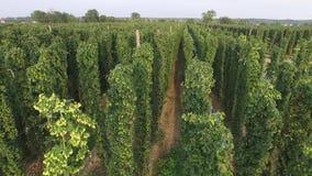 Flug über der Hopfenplantage, niedrig, Vogelperspektive stock video footage