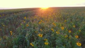Flug über einem Feld bei Sonnenuntergang stock video footage