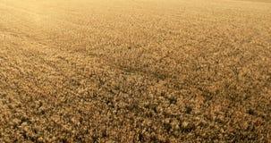 Flug über einem Feld des Weizens stock footage