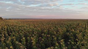 Flug über Feld der getrockneten Sonnenblume stock footage