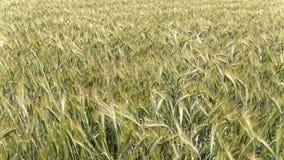 Flug über Getreideohren rührte sich durch den Wind stock video