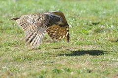 Flug der eurasischen Adler-Eule Stockfotos