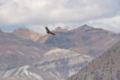 Flug des Kondors Stockbild