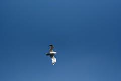 Flug einer Seemöwe Stockbilder