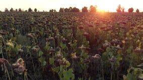 Flug in Feld der getrockneten Sonnenblume stock footage