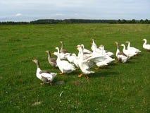 Flug von weißen Gänsen auf einer Wiese Lizenzfreie Stockfotos