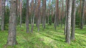 Flug zwischen Bäumen im Wald stock footage