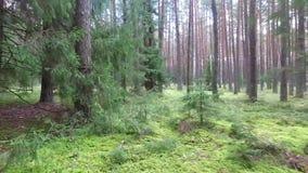 Flug zwischen Bäumen im Wald stock video