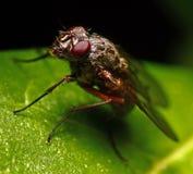 fluga Arkivbild