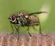 fluga Arkivbilder