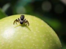 Fluga för Apple larv - Rhagoletispomonella Arkivfoto