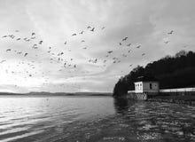 Fluga för fåglar för sjöbodstrandhvervenbukta Royaltyfria Foton