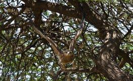 Fluga för guld- örn från ett träd på Afrika royaltyfri foto