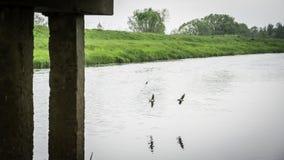 Fluga för ladugårdsvala nära bron royaltyfria bilder