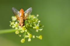 Fluga för makrosiktsbrunt på grönskagulingblomman Selektivt fokusera, grunt djup av sätter in arkivfoton