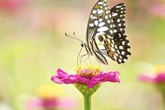 Fluga för monarkfjäril i morgonnatur fotografering för bildbyråer