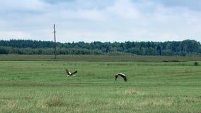 Fluga för två vita storkar över ett fält i sommar fotografering för bildbyråer