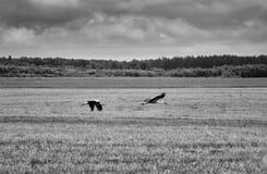 Fluga för två vita storkar över ett svartvitt fält - arkivbild