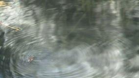 Fluga i vattnet stock video
