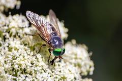 Fluga med gröna ögon över den vita blomman royaltyfria foton