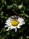 Fluga och blomma Arkivbild