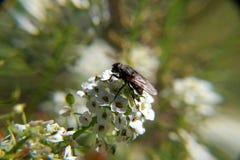 Fluga på Alyssum Royaltyfria Bilder