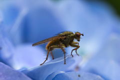 Fluga på blå hortensiablommamakro Royaltyfria Foton