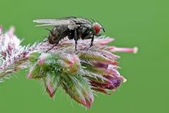 Fluga på blommablomningen Arkivfoton