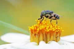 Fluga på blomman Royaltyfria Foton