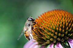Fluga på blomman Arkivbilder