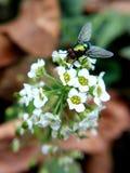 Fluga på blomman royaltyfria bilder