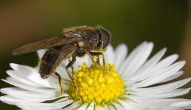 Fluga på blomman Arkivbild