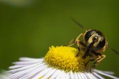 Fluga på blomman Arkivfoton